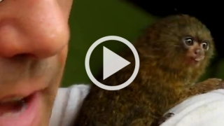 La scimma più piccola del mondo che può stare nel palmo di una mano.