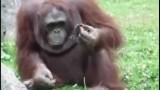 Un orango gentile cerca di salvare un uccellino appena nato, che sta annegando