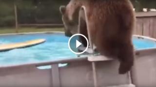 Un orso grizzly che fa un tuffo dopo l'altro divertendosi come un bambino