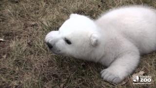 Orso polare di 2 mesi che non sa ancora camminare