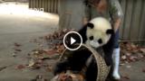 Che fatica tenere a bada i panda! sono simpatici ma molto dispettosi 😂😂😂