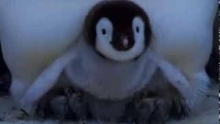 Piccoli pinguini che muovono i primi passi