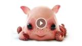 Scoperta una nuova specie di polpo, si chiama Dumbo, non è irresistibilmente adorabile?