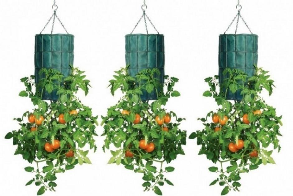 Come coltivare i pomodori a testa in gi for Piante pomodori in vaso