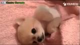 Questo cucciolo adora le coccole, guardate cosa fa appena la padrona si ferma