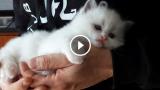 """Sapete perchè questo gatto viene chiamato """"Bambola di pezza"""" o """"Cherubino""""?"""