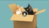 Perché i gatti amano le scatole?