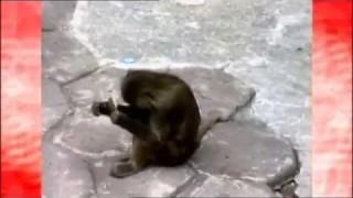 Scimmia che si specchia la prima volta
