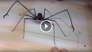 Un ragno gigante impressionante
