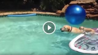 Il taxi da piscina per cagnolini pigri