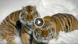 LE TIGRI NELLA NEVE COME NON LE AVETE MAI VISTE PRIMA – Le spettacolari immagini di 2 tigri riprese da un drone