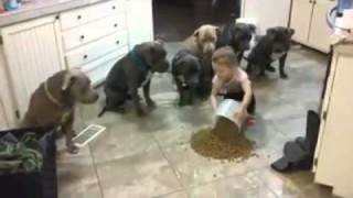 Una bimba di 4 anni che comanda a bacchetta 6 pit bull maschi.