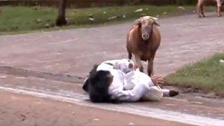 Una capra terrorizza i passanti 😂😂😂