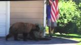 Uomo e orso si incontrano all'angolo… e guardate la reazione!