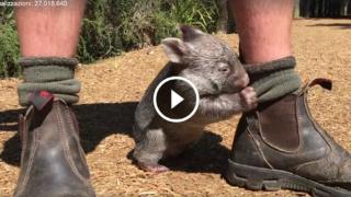 Questo simpatico animaletto è dolcissimo, si chiama Wombat, guardatelo che tenero!