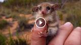 L'Opossum Pigmeo